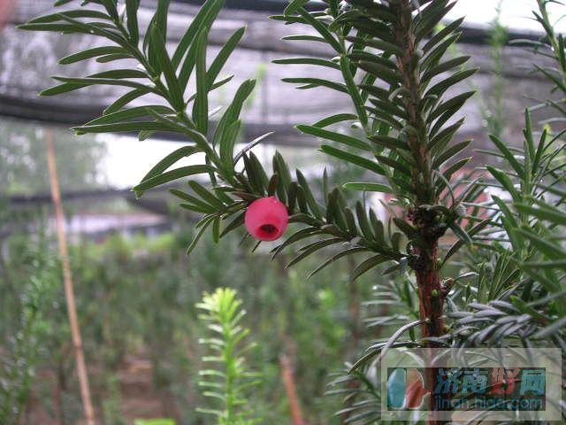 洋植物 落户济南大受市民青睐 曼地亚红豆杉你有买吗