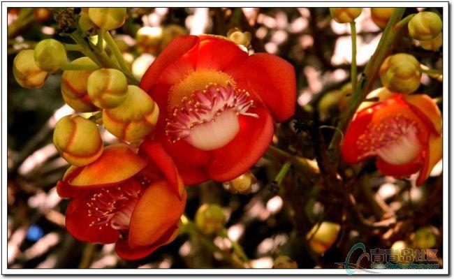 菩提树开 菩提花