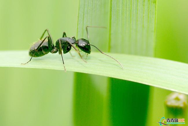 马兰花上的蚂蚁