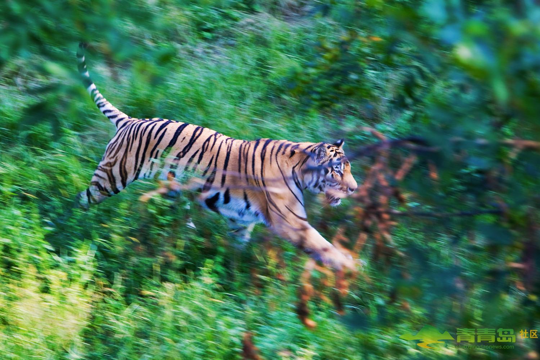 青岛森林野生动物世界组图-青青岛社区