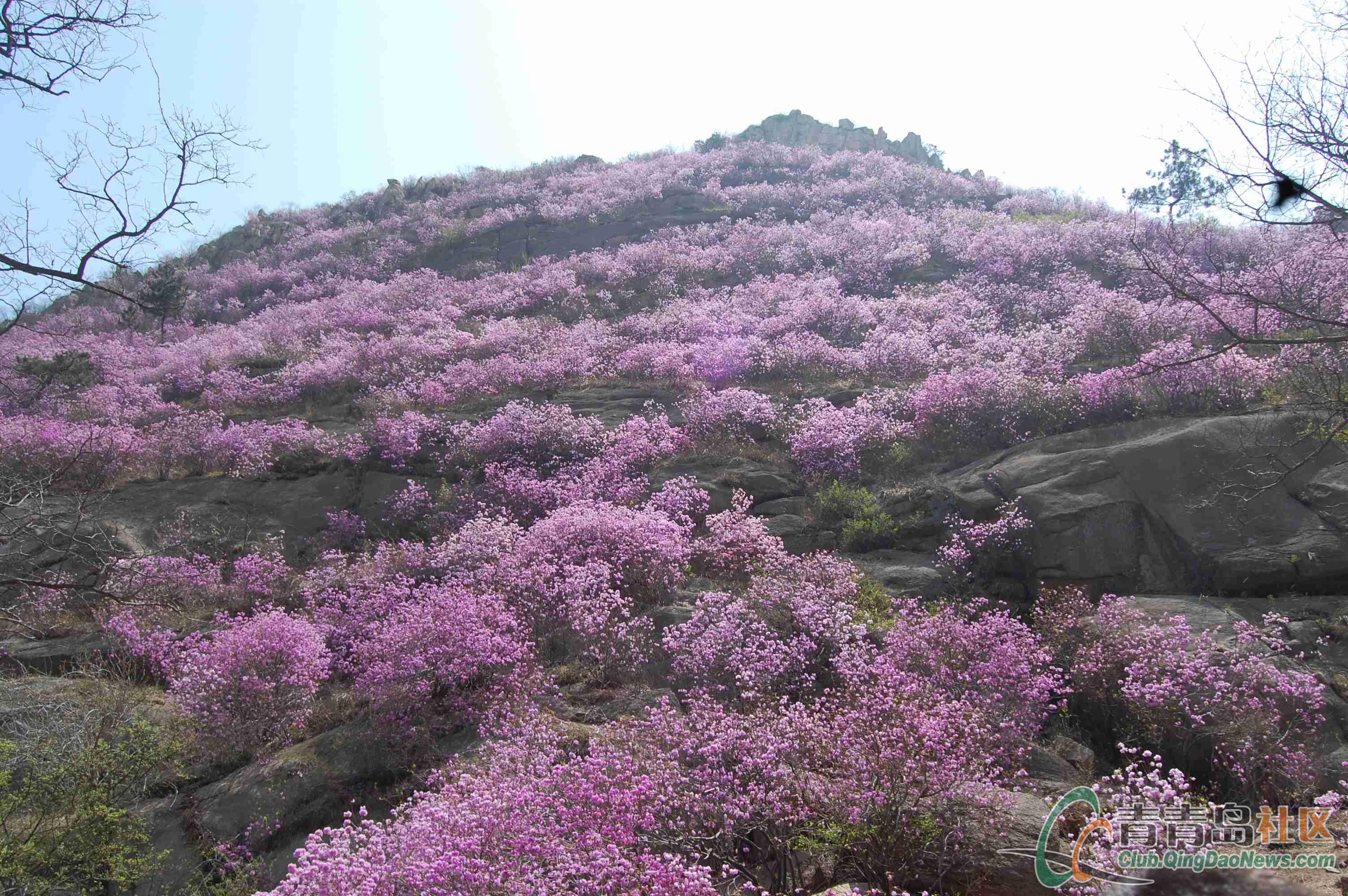 【摄影】胶南大珠山杜鹃花会