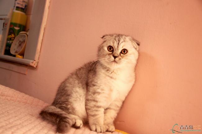 【高品质英短折耳猫找好人家!】-青青岛社区