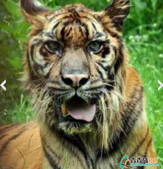 史上最悲剧的老虎