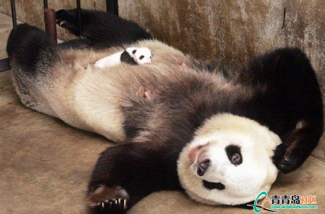被大熊猫长长的尾巴惊到了吧?大熊猫有尾巴的,成体的尾巴约20厘米,基部肥厚,被毛一般为白色。不过,一般尾巴紧贴臀部,很容易被忽略。  刚出生的大熊猫皮肤是粉红色的,带有稀疏的白毛。   在1~2周后,长黑毛的地方开始变深。