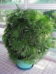 金山 植物 棕竹/还有棕竹:棕竹又称观音竹、筋头竹、棕榈竹、矮棕竹
