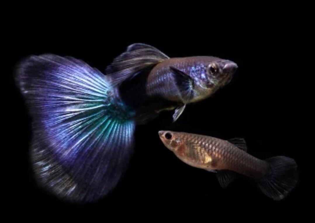 墨兰凤尾鱼